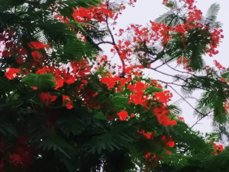 स्वर्गको फूल गुलमोहरले सजिएको सडक किनार