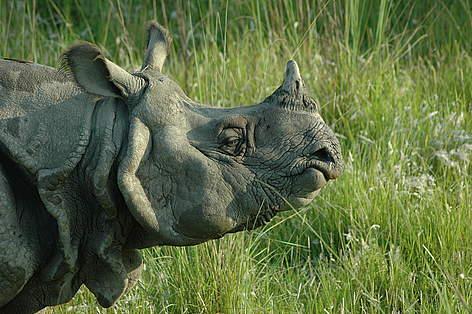 Greater One – Horned Rhinoceros