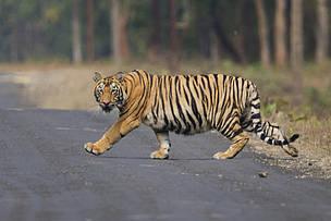 बर्दियामा बाघ आतंक : दिउँसै सडकमा निस्कन थाले, संरक्षण चुनौतीपूर्ण