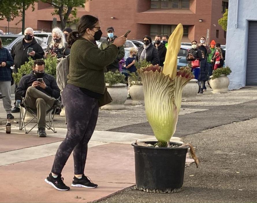 गन्हाउने फूल सुँघ्न अमेरिकामा सयौंको लाइन