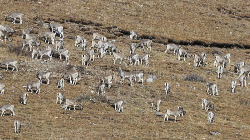 कञ्चनजङ्घा संरक्षण क्षेत्रमा नाउरको सङ्ख्या बढ्दो